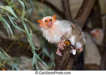 Silvery marmoset (Callithrix argentata) - Silvery marmoset...