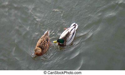 Pair of ducks floating on water above view - Pair of ducks...
