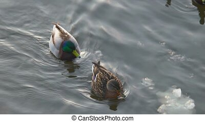 Pair of ducks floating on water side view