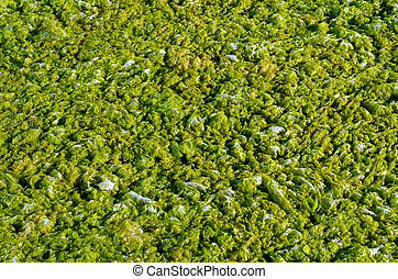 Green algae with water - Green algae with water foam texture...