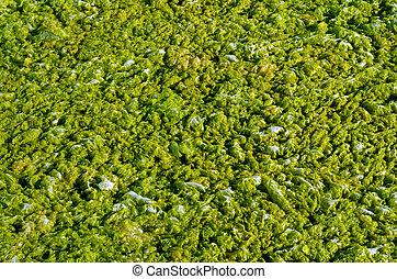 Green algae with water. - Green algae with water foam...