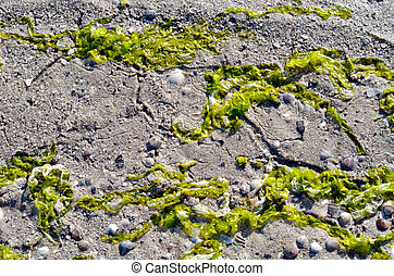 Green algae against the backdrop of sand and shells.