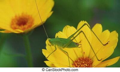 Green grasshopper on Calendula flower - Green grasshopper on...