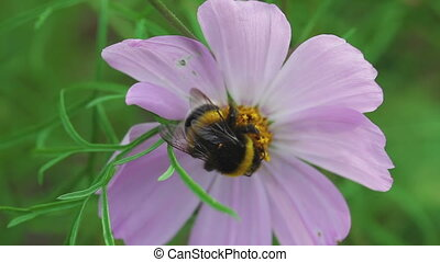 Bumblebee on cosmos flower - Bumblebee store honey dew from...
