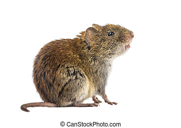 Sideview of wild Bank vole mouse Myodes glareolus sitting on...