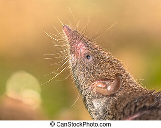 Crocidura Shrew pointing nose in the air - Greater...