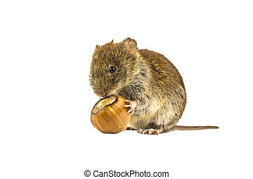 Vole eating from hazelnut - Wild Bank vole mouse (Myodes...
