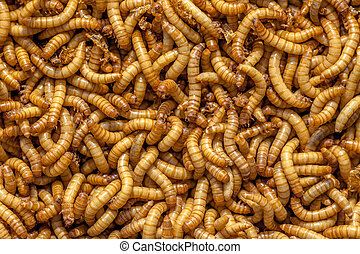 Living Mealworms - Background of many living Mealworms...