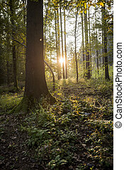Beauty in nature - sunlight coming through tree trunks of a...