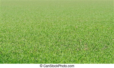 Grass field moving wind - Green grass field moving in the...
