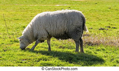 Sheep in field grazing - Sheep with halo around fur grazing...