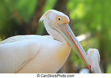 Great white Pelican - Close up shot of Great white Pelican