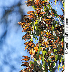 Monarch butterflies cluster - Monarchs cluster in the...