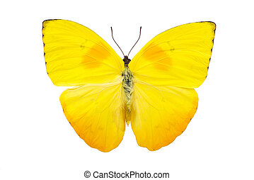 Beautiful bright yellow butterfly isolated on white -...