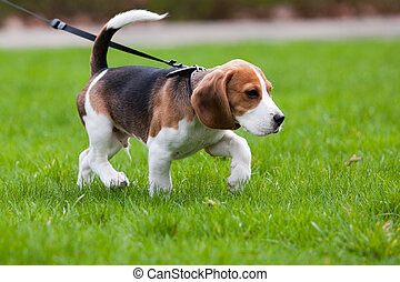 Beagle dog on the scent. Green grass.