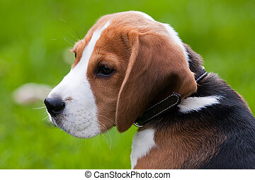 Close portrait of beagle - Close portrait of dog head Beagle...