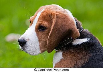 fim, Retrato, beagle