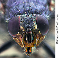 Housefly - Close-up of a housefly