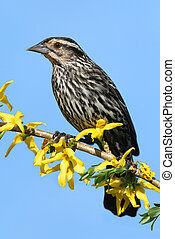 Female Red-winged Blackbird (Agelaius phoeniceus) perched on...