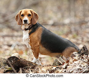 A Beagle Posing in the Woods - A hunting beagle posing in...
