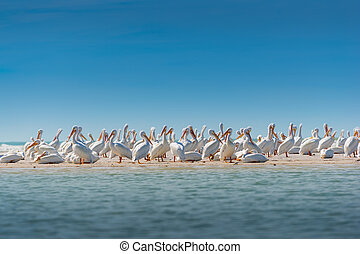 White Pelican Colony - Colony of White Pelicans Birds of...
