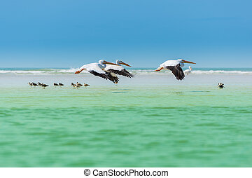 Floridas Wildlife Pelicans flying over Willets - Three white...