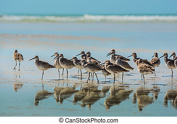 Willet Birds of Florida - Group of Willets reflection on the...