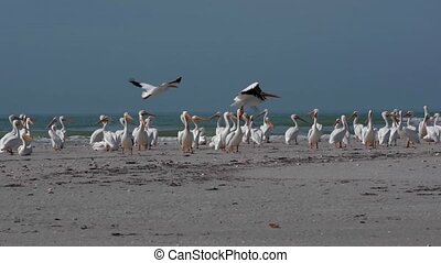 White Pelicans taking off of Florida's Beach - Colony of...
