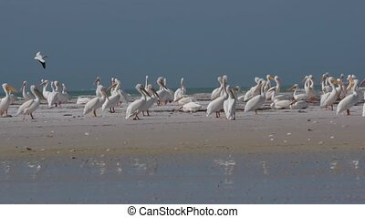 White Pelican Colony Birds of Florida - Colony of White...