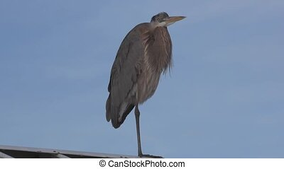 Heron on the Roof - Great Blue Heron on the metal roof one...