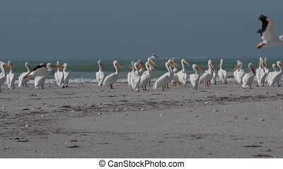 White Pelicans taking off of Floridas Beach Slow Motion -...