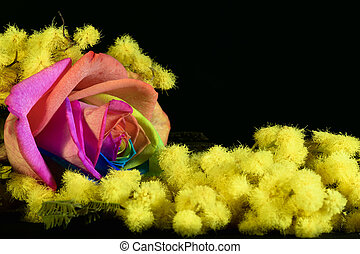 mimosa and multicolored rose on black background