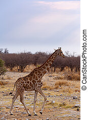 Giraffa camelopardalis near waterhole in Etosha national...