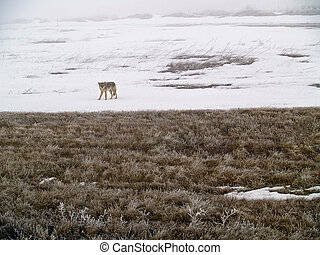 Coyote of the West Plains in Winter