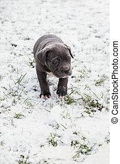 Black Neapolitan Mastiff puppy