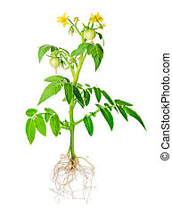 blossoming young seedling of fresh green tomatoes fruit with...