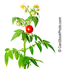 young green seedling of fresh ripe red tomatoes fruit and...