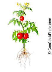 young seedling of fresh green and red tomatoes fruit and...