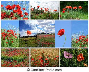 collage made of poppy flowers