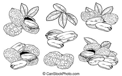 Vector peanut on white background. Isolated nuts.