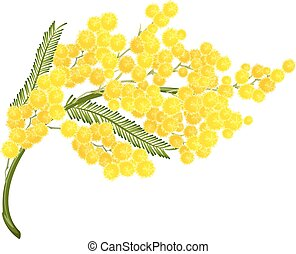 Yellow mimosa flower. Mimosa flower symbol of Womens Day....