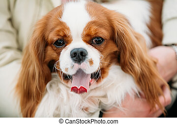 Funny white and red Cavalier King Charles Spaniel Dog sits...