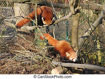 red pandas - two cute red pandas climbing together in the...
