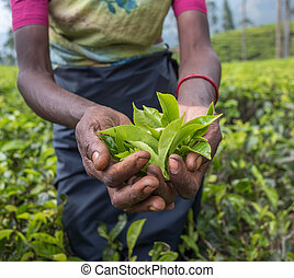 Tea pickers in Nuwara Eliya, Sri Lanka