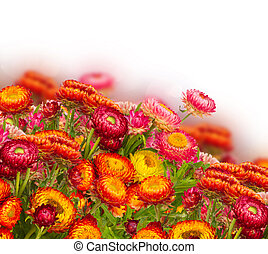 Everlasting flowers - fresh Everlasting flowers border...