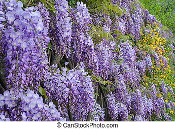wisteria - Hanging purple wisteria bunches flowers in spring...