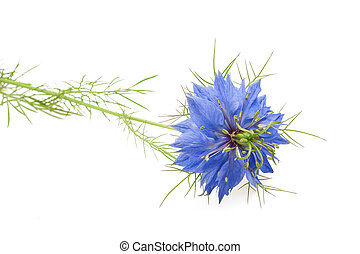 black caraway flower isolated on white background