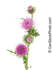milk thistle - thistles flowers isolated on white background