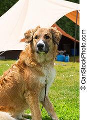 Dog at campsite