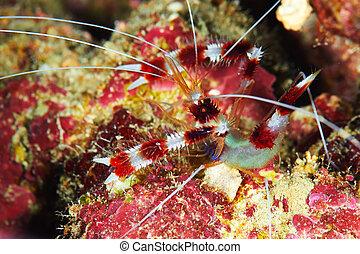 Banded Boxing Shrimp